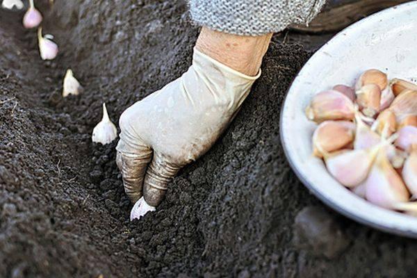 Как ухаживать за чесноком для хорошей урожайности с 1 сотки