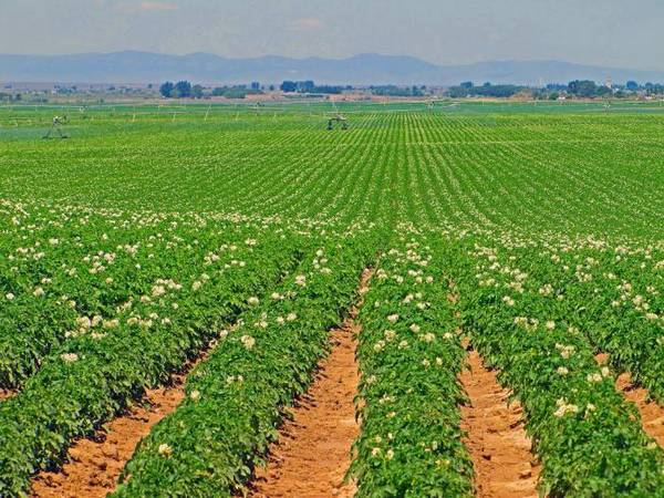 Картофель Импала — описание раннеспелого сорта высокого качества