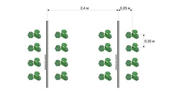 Огурцы: посадка и выращивание в парниковых условиях