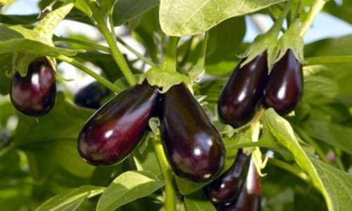 Рекомендации по выращиванию баклажанов