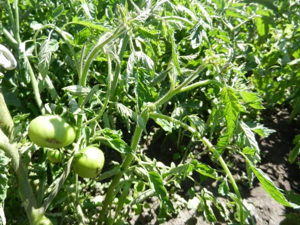 Как бороться с тлей на рассаде помидоров