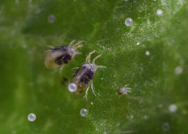 Как эффективно бороться с паутиной на огурцах в теплице