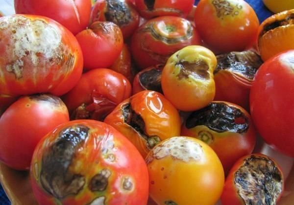 Плесень на помидорах в теплице: причины появления и методы борьбы