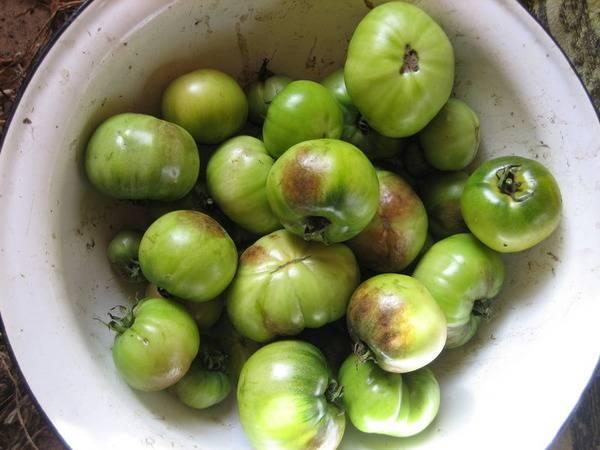 Правила использования трихопола от фитофторы на помидорах