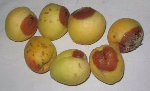 Распространенные болезни и вредители абрикосовых деревьев и способы их лечения