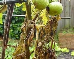 Способы лечения фузариозного увядания томатов