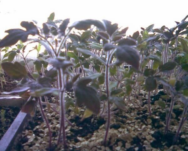 У помидоров фиолетовые листья: почему возникает проблема и что делать в подобном случае